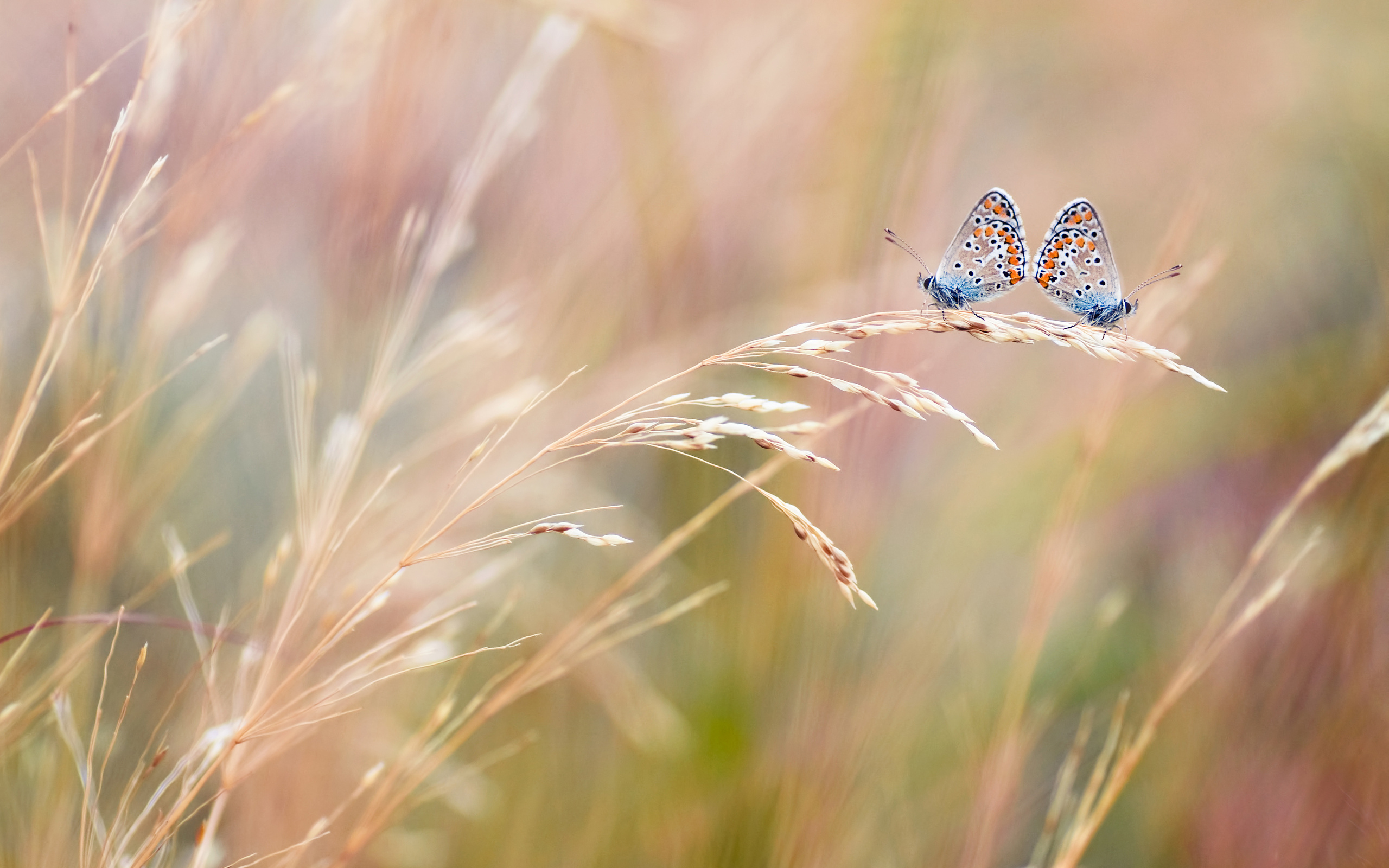 Two Couple Butterfly