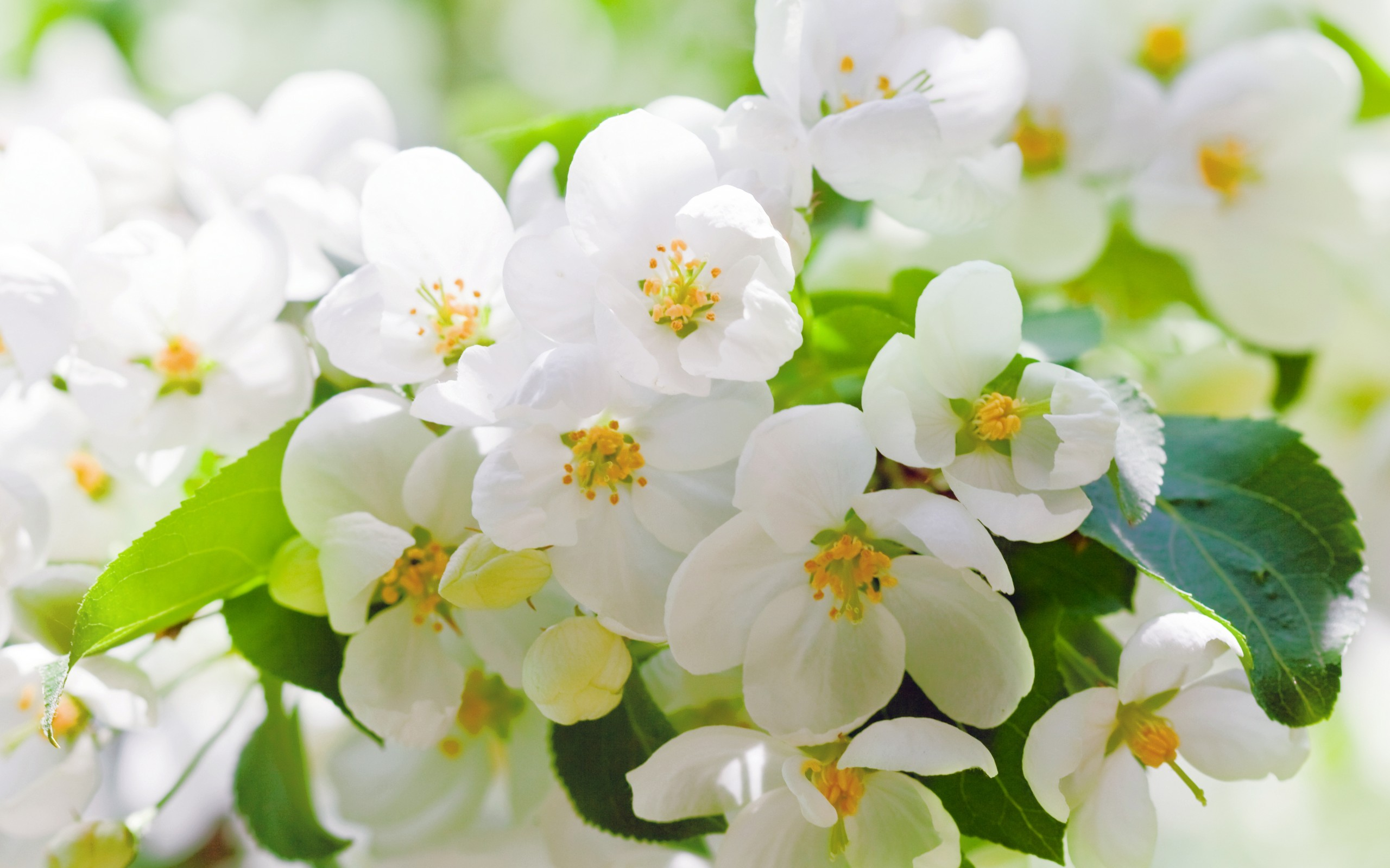 White Cherry Blossoms Branches Wallpapers  2560x1600 433180