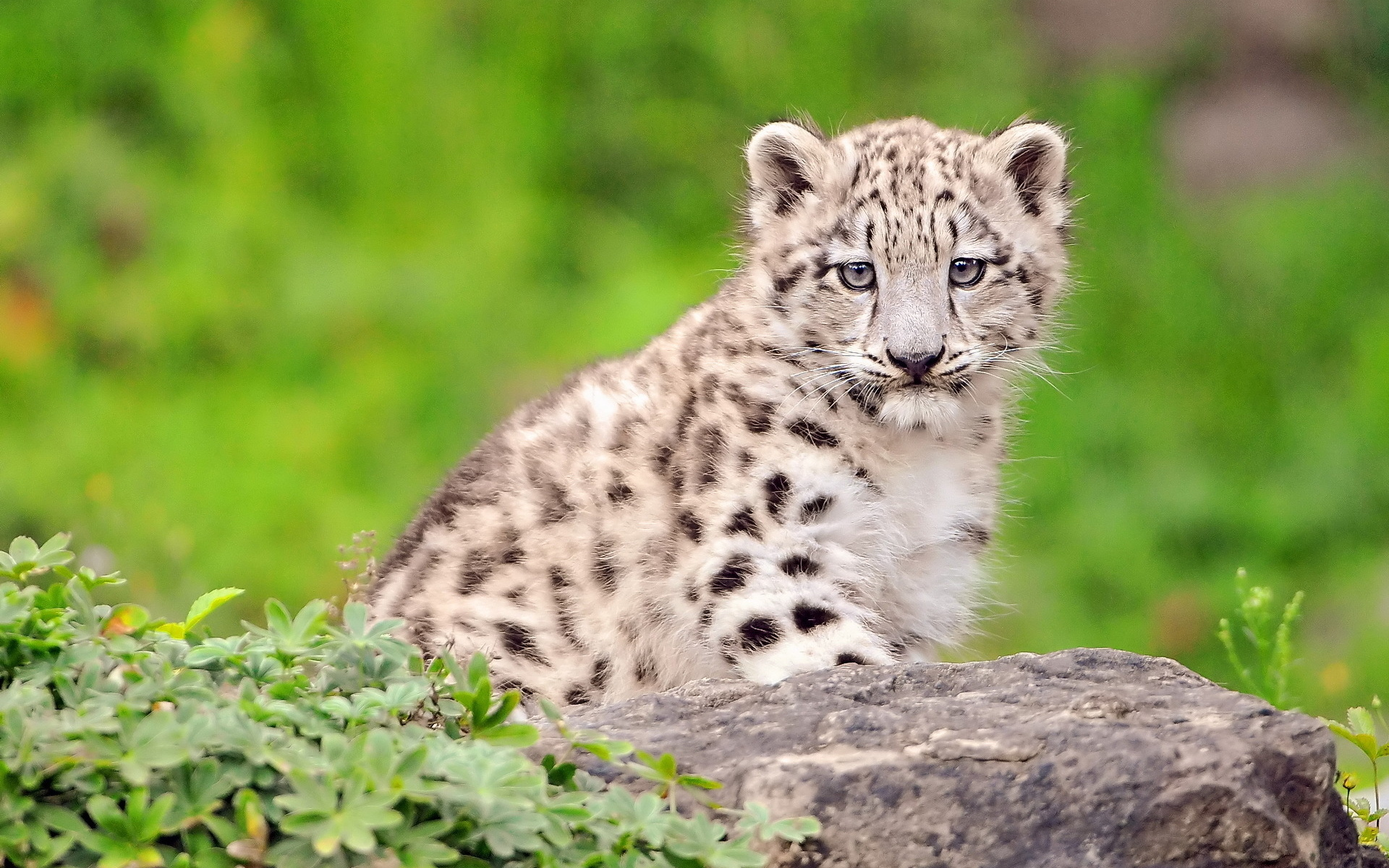 White Cutest Snow Leopard Cub Click To View