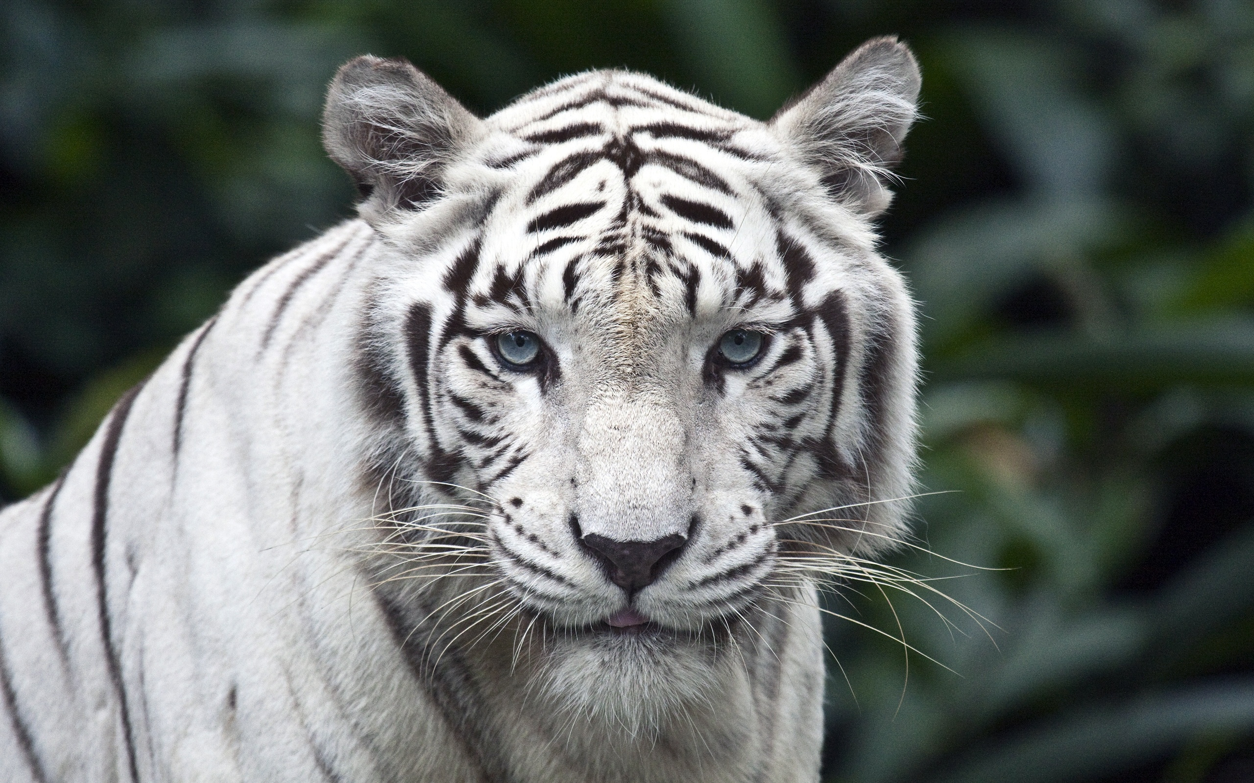 white_tiger_close_up-wide.jpg