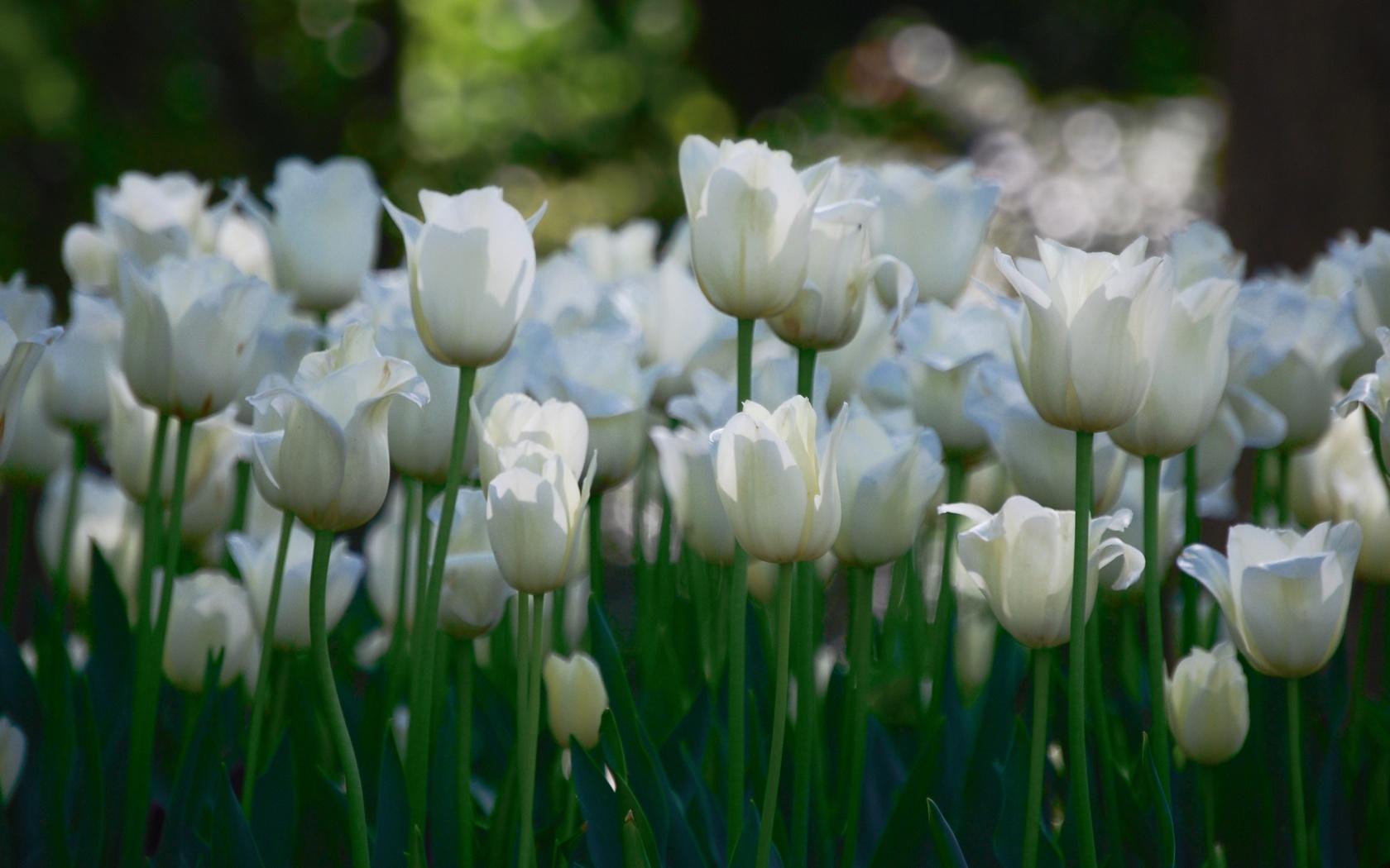 White tulips flower garden wallpapers white tulips flower garden click to view mightylinksfo