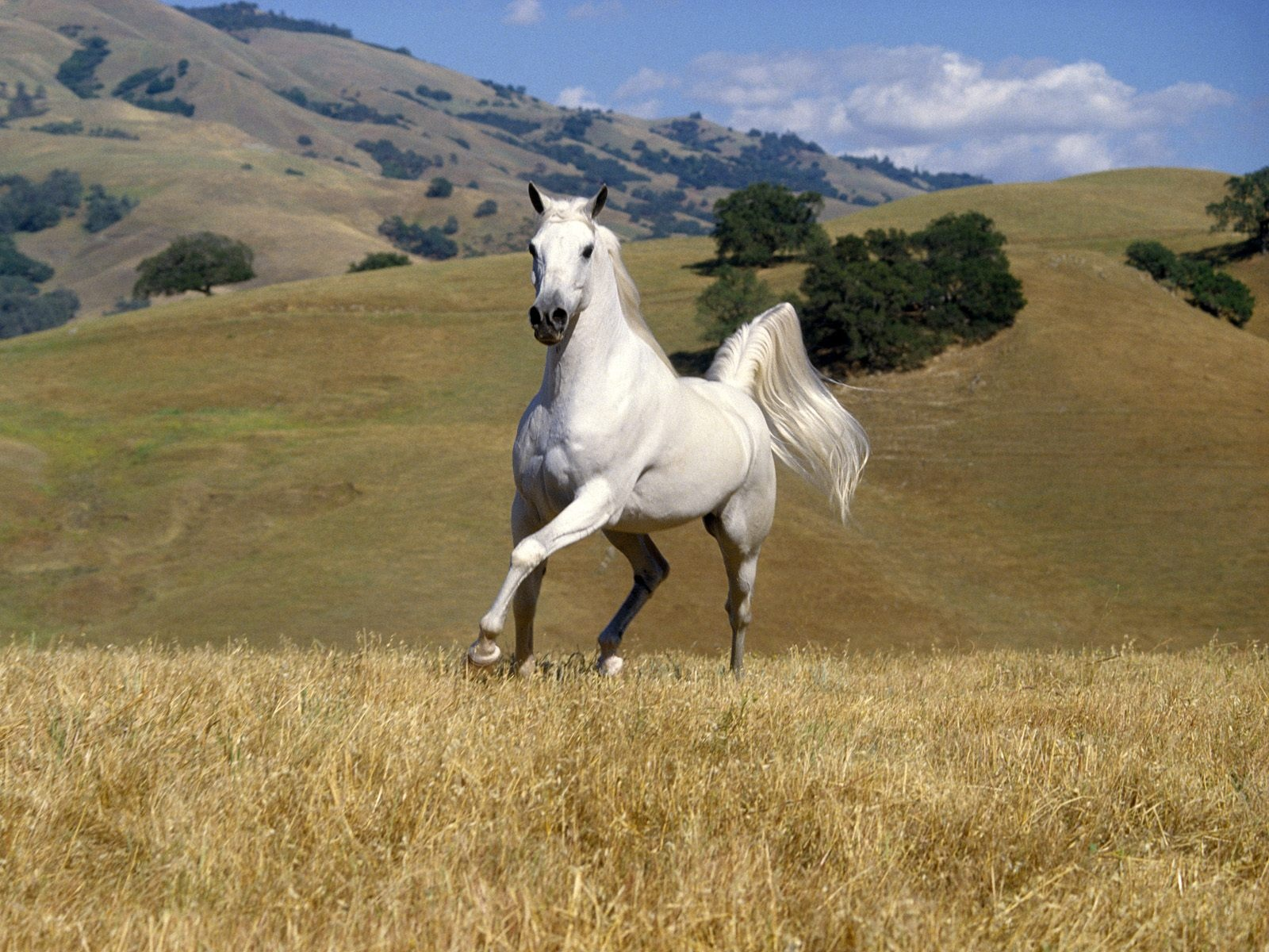 White wild horse wallpapers