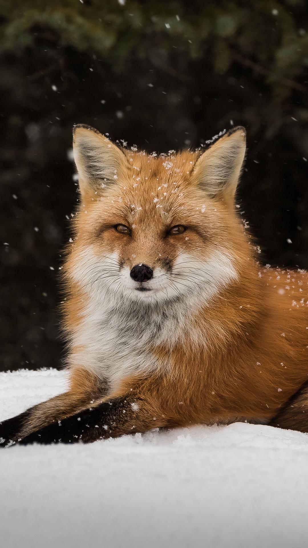 Wildlife Snow Fox Wallpapers