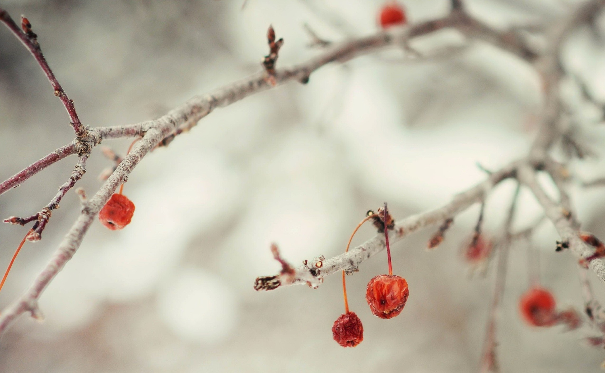 Winter Berries Branch | 2550 x 1571 | Download | Close